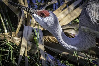 Photograph - Sandhill Crane by Elizabeth Eldridge