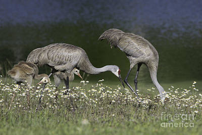 Photograph - Sandhill Crane Family by Jeannette Hunt