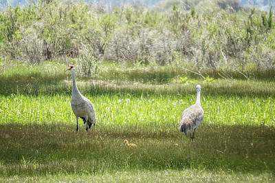 Photograph - Sandhill Crane Family, No. 1 by Belinda Greb