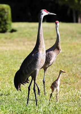 Photograph - Sandhill Crane Family On Alert by Carol Groenen