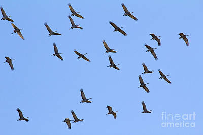 Photograph - Sandhill Crane Flock by Alycia Christine
