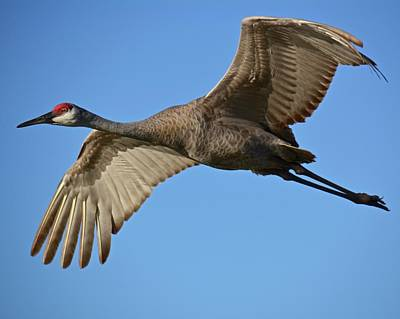 Photograph - Sandhill Crane Fly-over by Carol Bradley