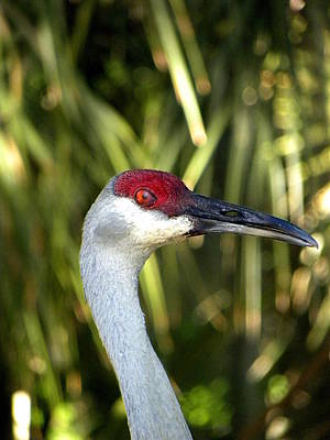 Impressionist Landscapes - Sandhill Crane Head  by Chris Mercer
