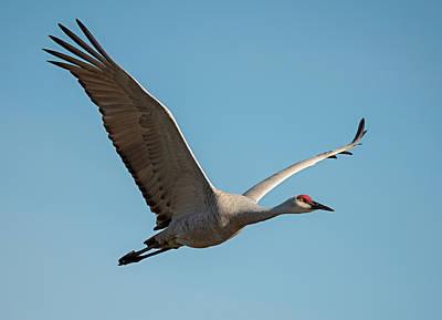 Photograph - Sandhill Crane In Flight by Loree Johnson