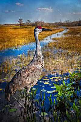 Photograph - Sandhill Crane In The Glades by Debra and Dave Vanderlaan