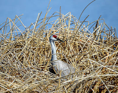 Photograph - Sandhill Crane In The Reeds by Denise Bruchman