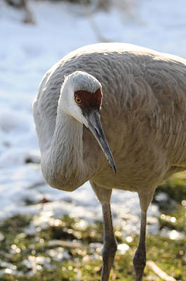 Photograph - Sandhill Crane In Winter by Lawrence Christopher