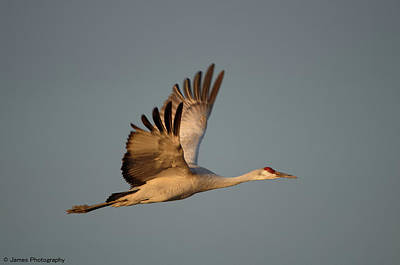 Photograph - Sandhill Crane by James Petersen