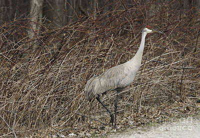 Photograph - Sandhill Crane   by Jeannette Hunt