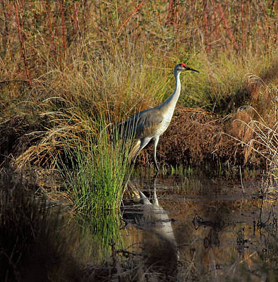 Photograph - Sandhill Crane by Marie Hicks