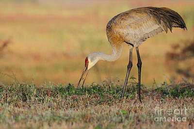 Photograph - Sandhill Crane by Meg Rousher