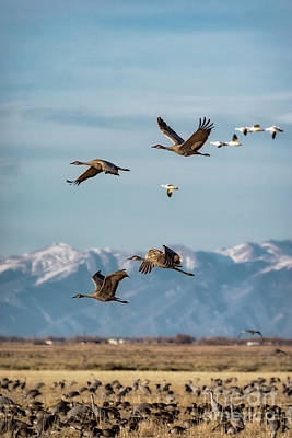 Photograph - Sandhill Crane Migration by Bitter Buffalo Photography