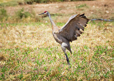 Photograph - Sandhill Crane Morning Stretch by Ricky L Jones