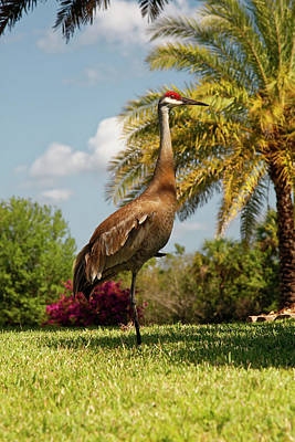 Photograph - Sandhill Crane On One Leg by Sally Weigand