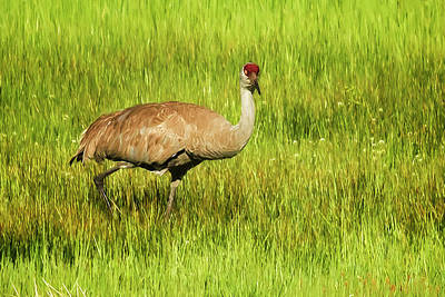 Photograph - Sandhill Crane, Painterly by Belinda Greb