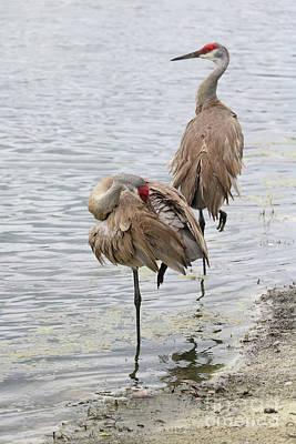 Animal Paintings David Stribbling - Sandhill Crane Pair Visits the Pond by Carol Groenen