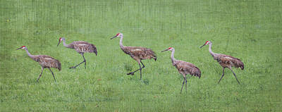Photograph - Sandhill Crane Pano Texture by Patti Deters