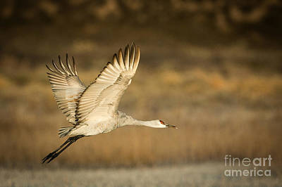 Photograph - Sandhill Crane by Patti Schulze