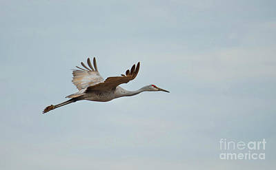 Photograph - Sandhill Crane by Paul Mashburn