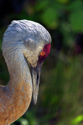 With Red Photograph - Sandhill Crane Profile  by Sharon Talson