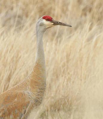 Photograph - Sandhill Crane Profile by Steve McKinzie