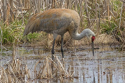 Photograph - Sandhill Crane by Ron Grafe