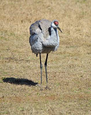 Photograph - Sandhill Crane Settling It's Feathers by rd Erickson