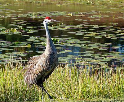 Photograph - Sandhill Crane Walking  by Sally Weigand
