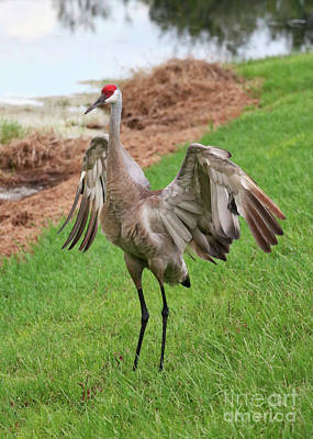 Photograph - Sandhill Crane Wonderful Wings by Carol Groenen
