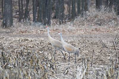 Photograph - Sandhill Cranes 1171 by Michael Peychich