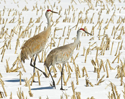 Photograph - Sandhill Cranes 3144 by Michael Peychich
