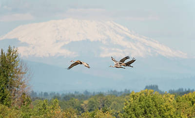 Photograph - Sandhill Cranes And Mount St. Helens by Loree Johnson