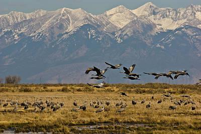 Photograph - Sandhill Cranes At Monte Vista by Alan Bland