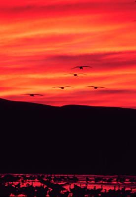 Photograph - Sandhill Cranes - Bosque Del Apache - Nm by Steven Ralser