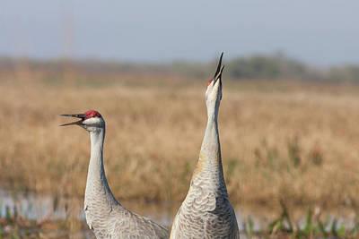 Photograph - Sandhill Cranes Calling by Paul Rebmann