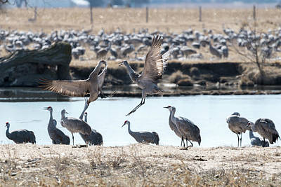 Photograph - Sandhill Cranes Dancing by Dan Friend