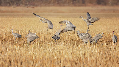 Photograph - Sandhill Cranes Dancing by Susan Rissi Tregoning