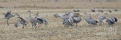 Photograph - Sandhill Cranes by Elizabeth Winter