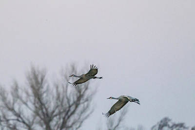 Photograph - Sandhill Cranes Flying by Kathy Adams Clark
