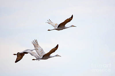 Photograph - Sandhill Cranes Flying by Paul Mashburn