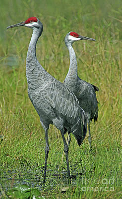 Photograph - Sandhill Cranes He And She by Larry Nieland