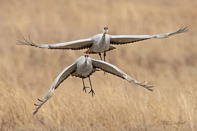Photograph - Sandhill Cranes In Flight by CR Courson