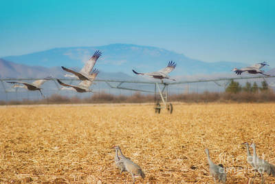 Sandhill Cranes In Flight Art Print by Donna Greene