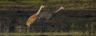 Photograph - Sandhill Cranes In Sunset Light by Yeates Photography