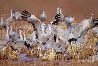 Photograph - Sandhill Cranes by Irina Hays