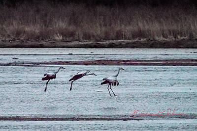 Photograph - Sandhill Cranes Landing by Edward Peterson