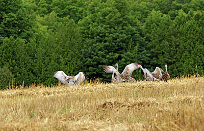 Photograph - Sandhill Cranes Manitoulin Island by Debbie Oppermann