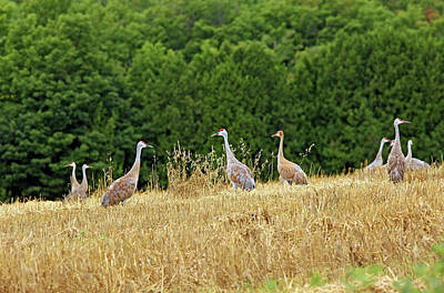 Photograph - Sandhill Cranes Manitoulin Island I by Debbie Oppermann
