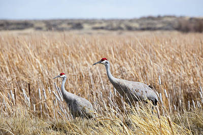 Photograph - Sandhill Cranes by Michael Chatt