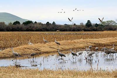 Photograph - Sandhill Cranes Near And Far by Carol Groenen